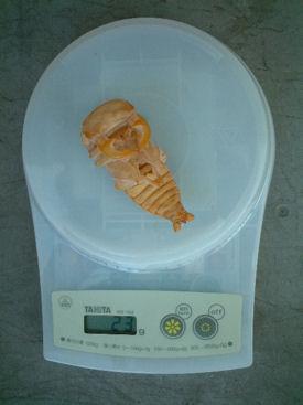 SP03 蛹体重