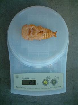 SP09 蛹体重