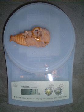 SP17 蛹体重