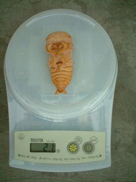 XAL12  蛹体重