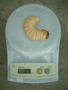 XAL11 前蛹体重