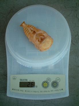 XAL11 蛹体重