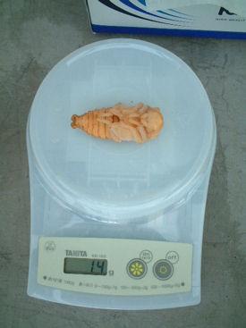 ダイスケ-09 蛹化体重