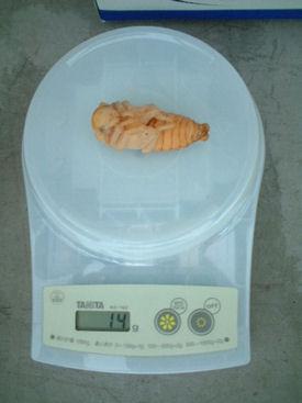 ダイスケ-04 蛹化体重