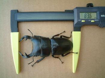09インドAL-04羽化サイズ