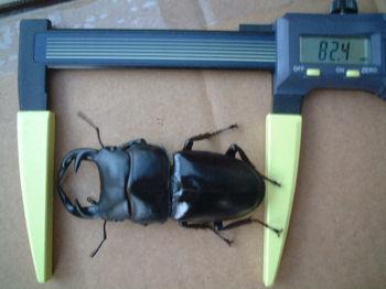 09インドAL-07羽化サイズ