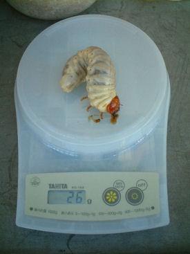 10ミャンマー 08幼虫体重①