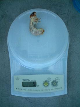 10ミャンマー 10体重