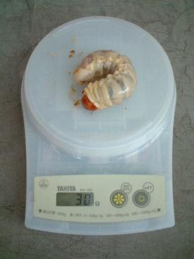 10インド SBL-01 体重①