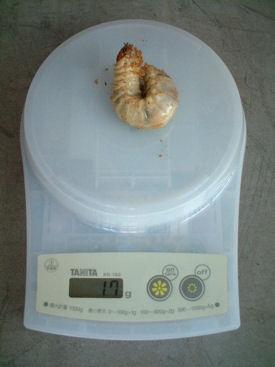 10ベトナム 03幼虫体重
