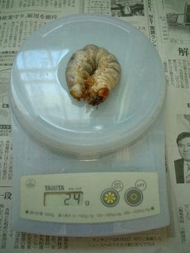 10ベトナム 13幼虫体重①