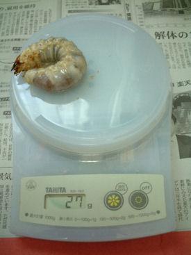 10インド SBL-11 体重①