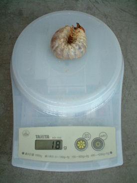 10インド SBL-14 体重①