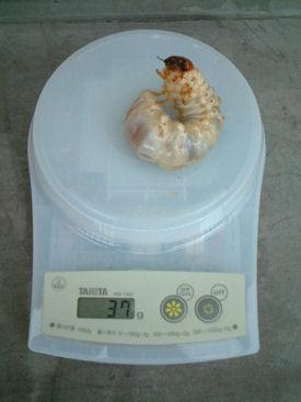 10ミャンマー 12体重
