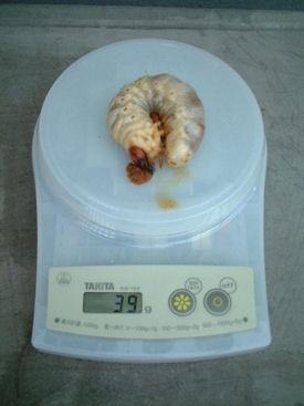 10インドBL88-A10 体重①