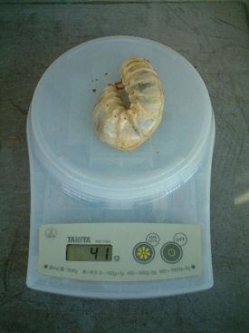 10ミャンマー 08幼虫体重②