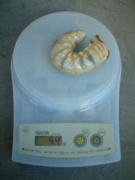 10ミャンマー 12体重②