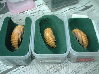 10インド  ♀蛹(オアシス)