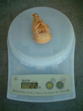 10インドBL88-B07 蛹化体重