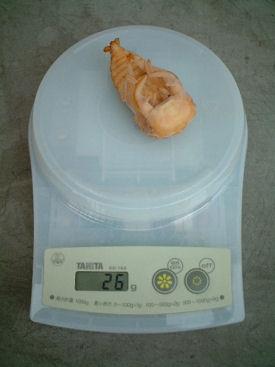 10ミャンマー 08蛹化体重