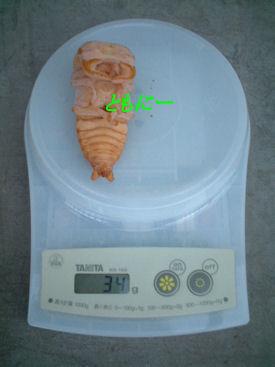 10インド SBL-04 蛹化体重