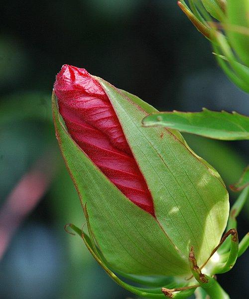 紅葉葵の蕾