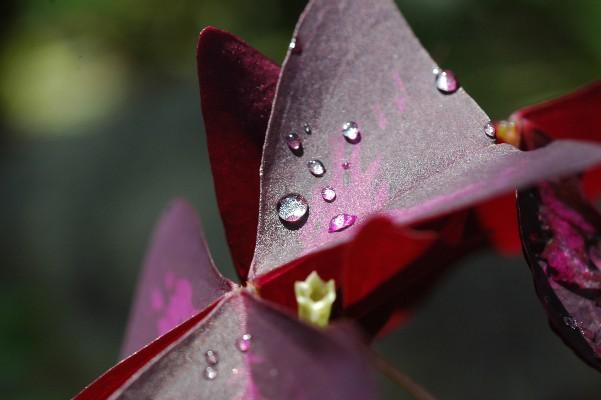 オキザリスの葉