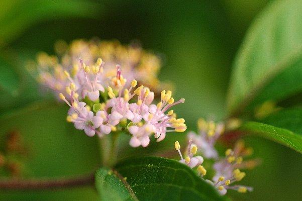 コムラサキ花1
