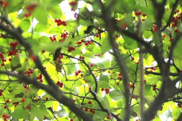 梅もどき1