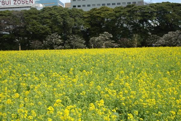 浜離宮菜の花