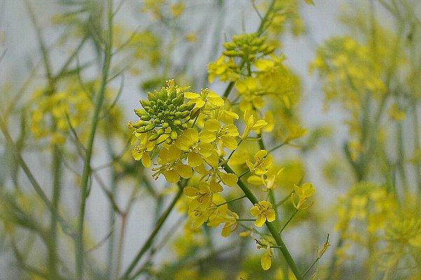 菜の花マクロ2