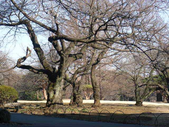 巨木さくら