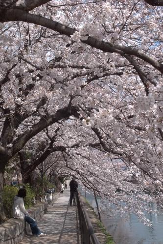 深草疎水の桜