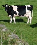 cowsa