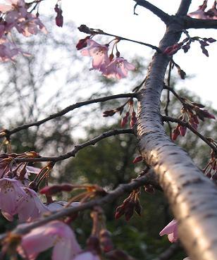 しだれ桜~