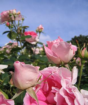 かわいいピンク