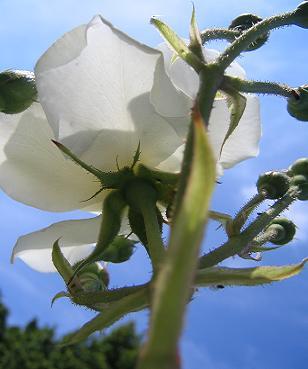 空にはえる白薔薇