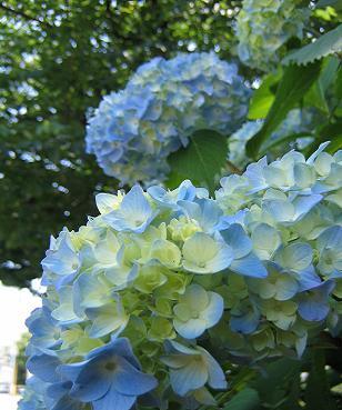 梅雨の時期の花のはず・・・