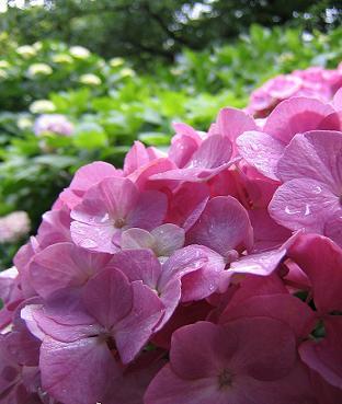 雨が似合う花のはず~