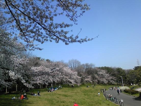 大泉公園桜1