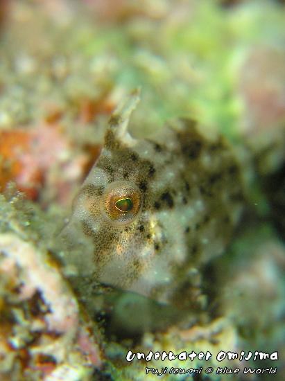 カワハギの幼魚