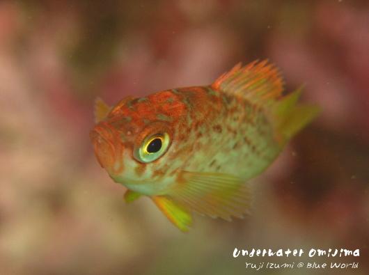 メバルの幼魚