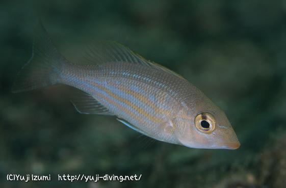 イトフエフキの幼魚