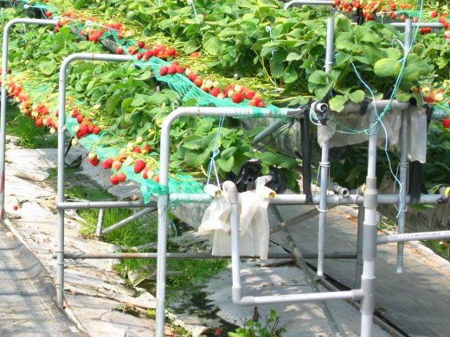 幸の香 栽培施設