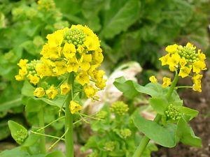 菜っぱの菜の花
