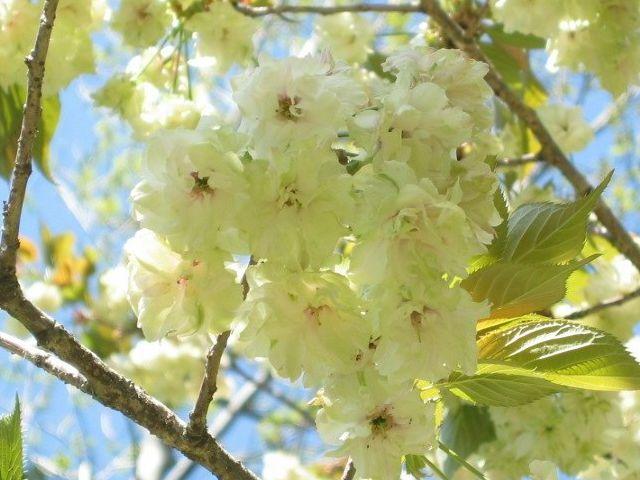 うこん八重桜