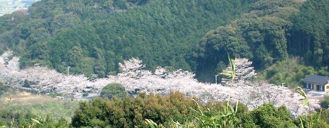成田山不動寺・参道の桜