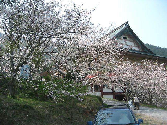 成田山不動寺の桜
