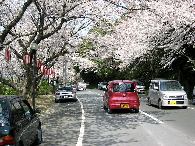 ゆうれい坂の桜