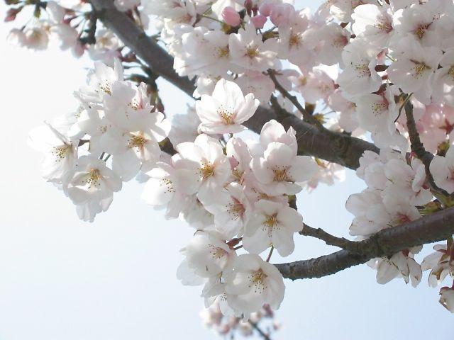 直方リバーサイドパークの桜